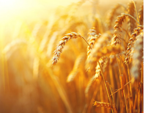 WASDE brings another reduction in global wheat stocks