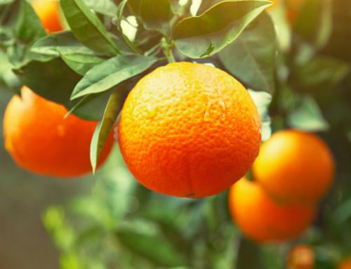 U.S. orange output lower