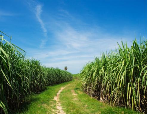 A new milestone in sugarcane research