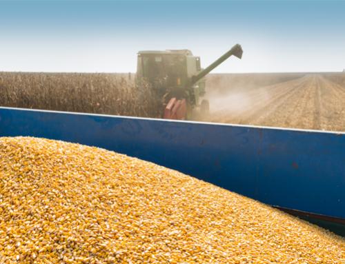 Corn eases on harvest pressure, COVID-19 concerns