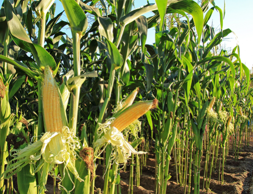 Corn market corrects on better weather in SA, speculative selling